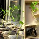 Experiment: cum cresc plantele înspre lumină
